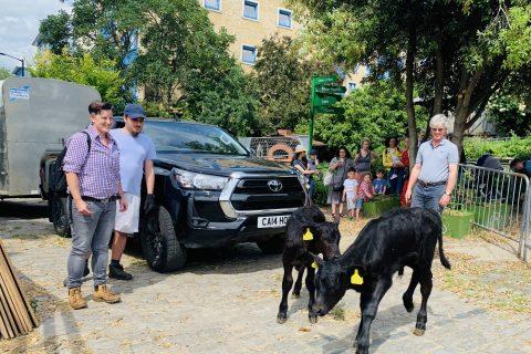New calves arrive at Surrey Docks Farm
