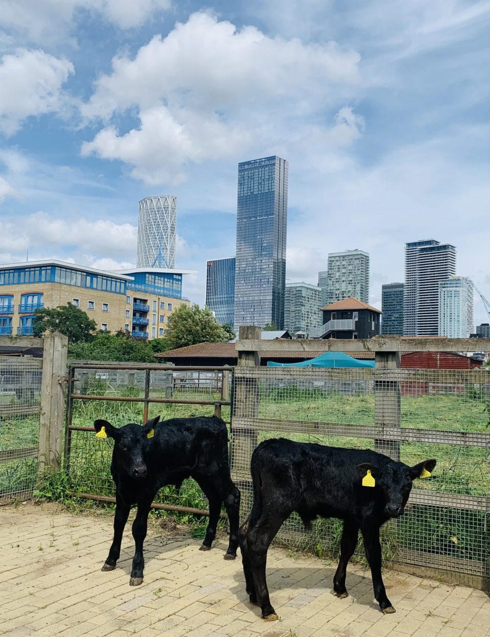 two new calves for SDF